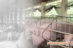 Giá lợn hơi tăng gần 10.000/kg